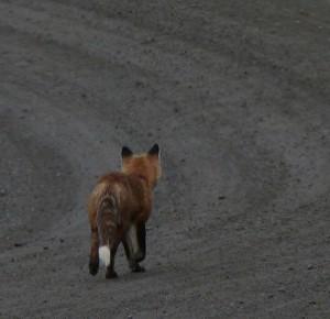 K1024_fox