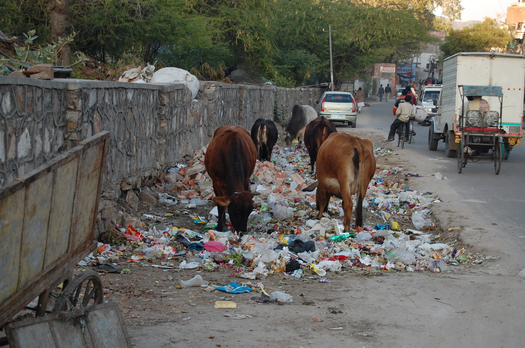 Cows feed among the rubbish in India. Image from Wikipedia, trash, pollution, waste, clean up, sanitation
