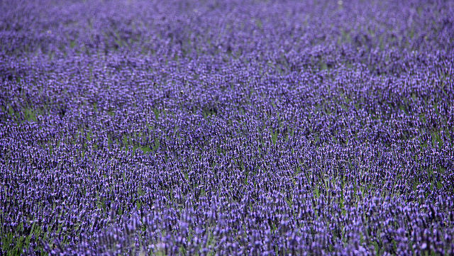 Fields of English lavender.