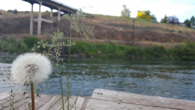 Dandelion along the Deschutes River