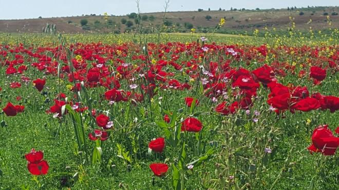 Poppies in Southeastern Turkey