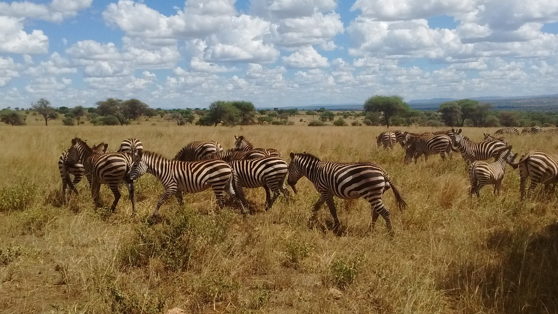 Zebras seen on safari with Memorable Safaris out of Arusha Tanzania